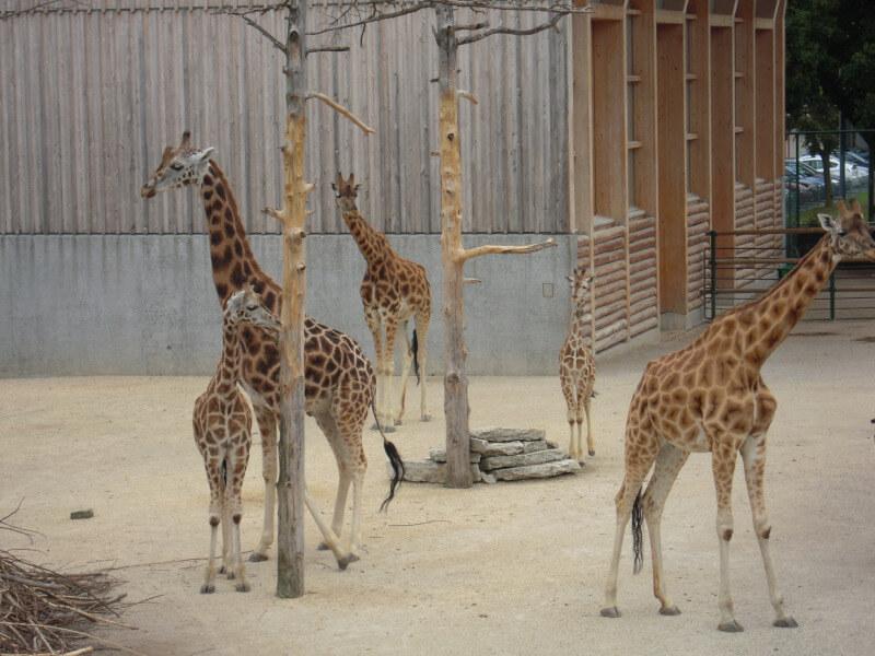 Famille de girafes du zoo de Rapperswil