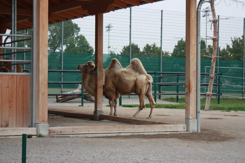 Un chameau s'en va manger au zoo de Rapperswil